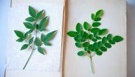 نبات المورينجا أهميته وفوائده وأضراره